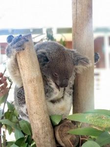 australia, sydney, travel, tourism, explore, food, eat, stay, visit, safari, wildlife, koalas, kangaroos
